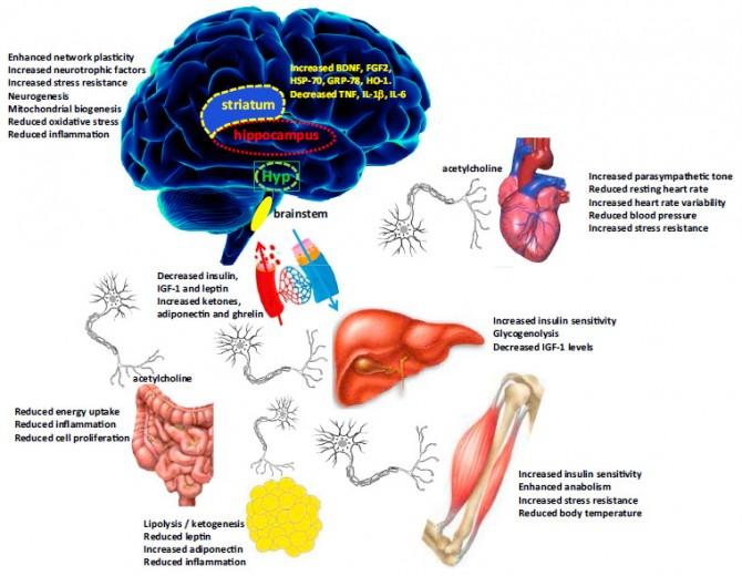 간헐적 단식이 주요 신체기관에 미치는 영향. 시계방향으로 보면 먼저 뇌의 경우 주로 네 부분(선조체, 해마, 시상하부, 뇌간)이 영향을 받아 네트워크 가소성이 강화되고 신경생성이 이루어지는 등 인지력이 향상된다. 심장의 경우 부교감신경이 활성화되면서 심박수가 줄어들고 혈압이 떨어진다. 간에서는 인슐린 민감성이 높아지고 IGF-1 수치가 떨어진다. 근육에서도 인슐린 민감성이 높아지고 스트레스 저항성이 커진다. 지방조직의 경우 지방분해가 촉진되고 염증이 완화된다. 내장에서는 염증이 줄어들고 세포증식이 줄어든다. - 셀 대사 제공